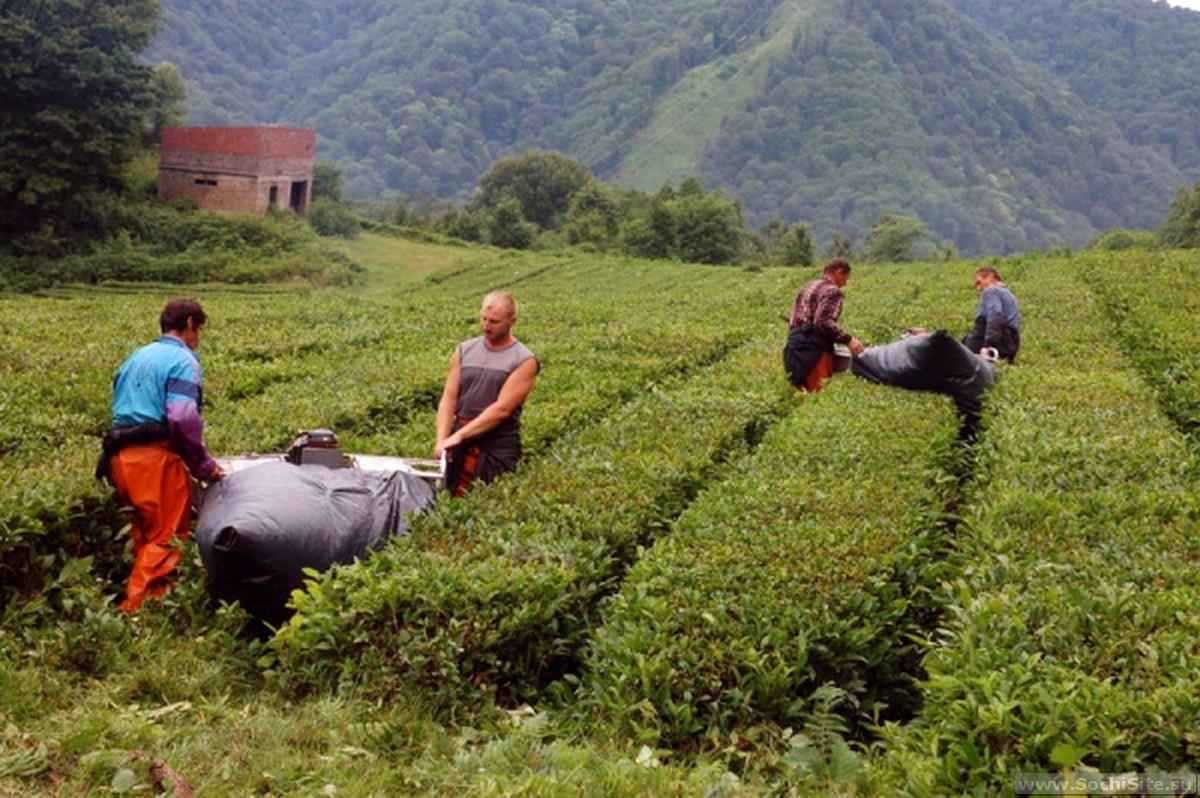 Чайные домики Сочи и плантация в Дагомысе самостоятельно