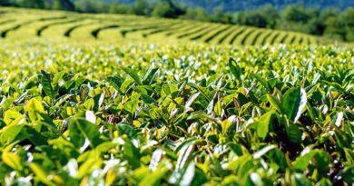 Чайная плантация в Сочи