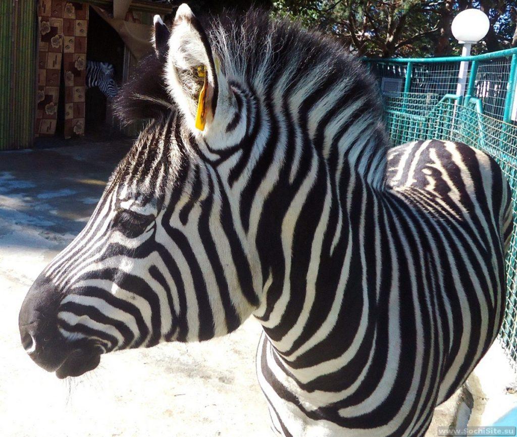 Зебра в сочинском зоопарке